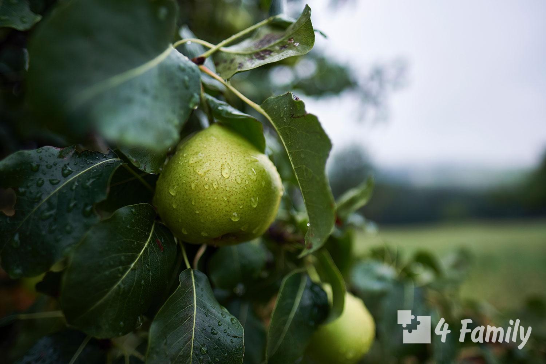 Фото. Как сохранить урожай яблок и груш