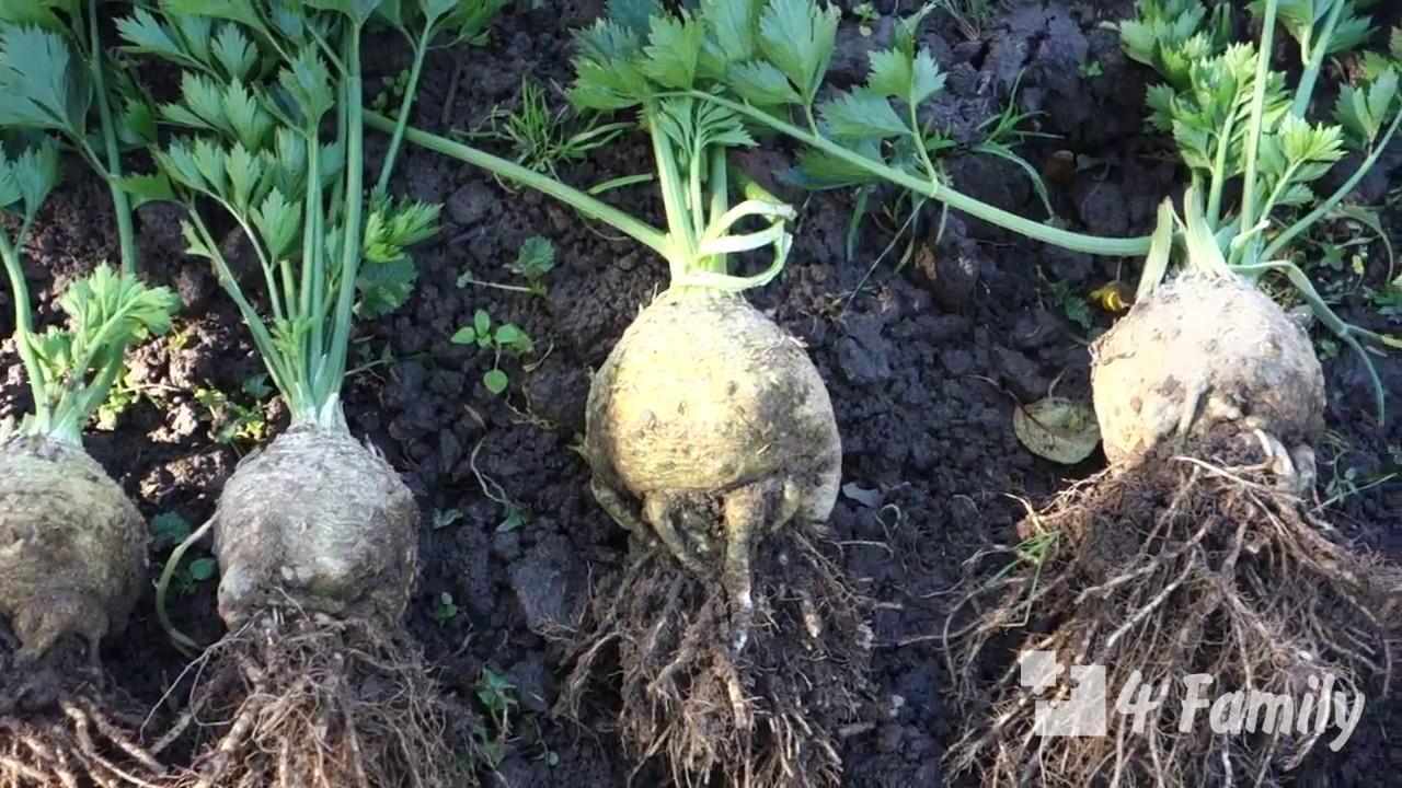 Фото. Сельдерей как вырастить хороший урожай