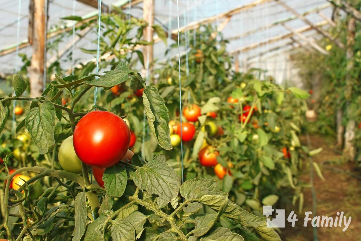 Фото. Уход за помидорами в открытом грунте