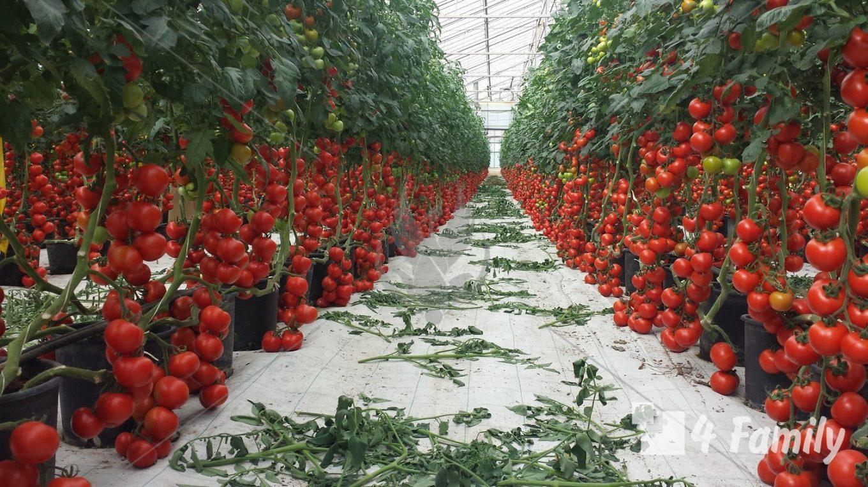 4family Когда помидорам пора в теплицу: советы, которые помогут вам собрать отличный урожай