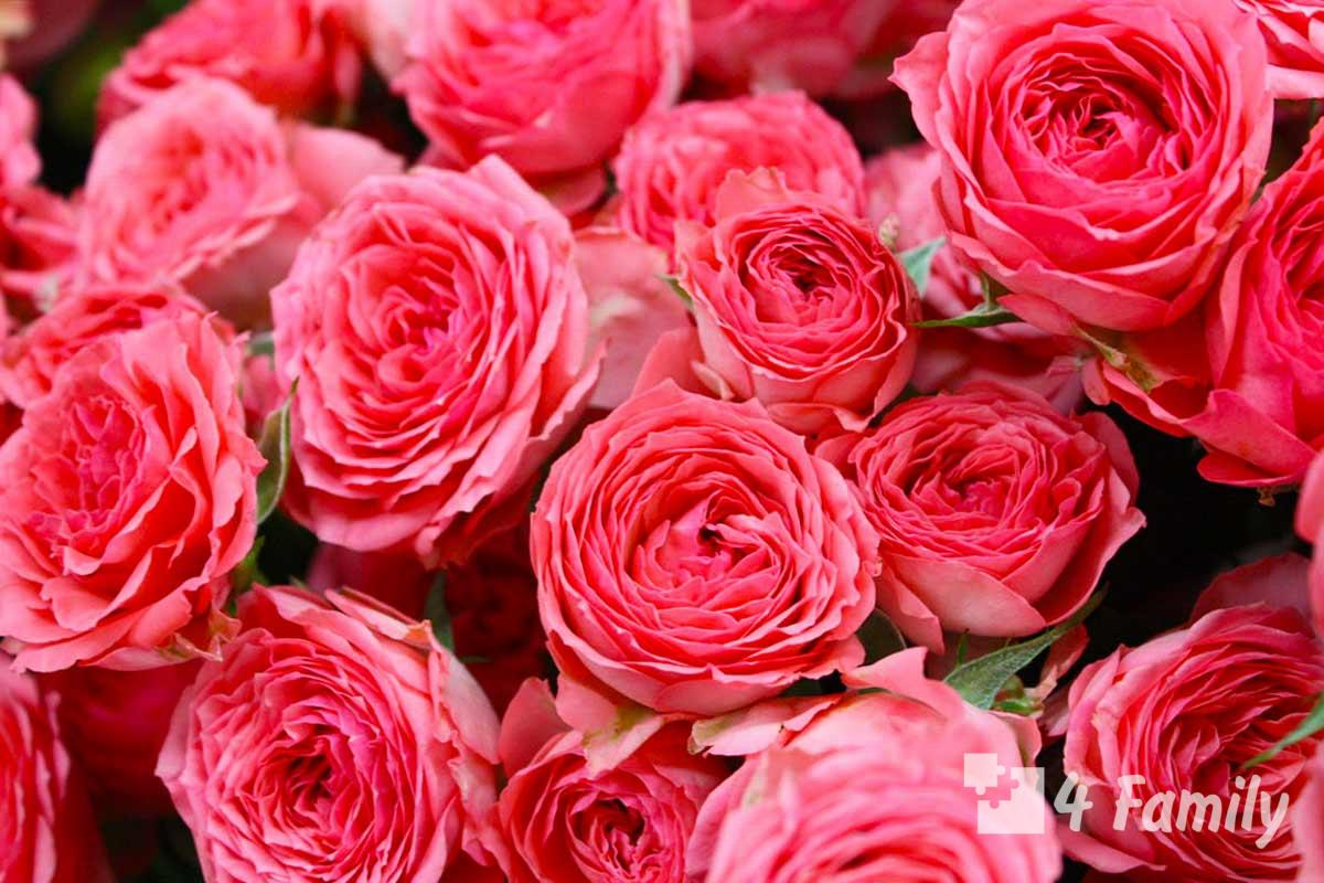 4family Цвета роз и их значение