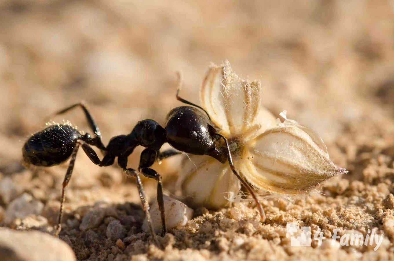 4family Как избавиться от муравьев на участке