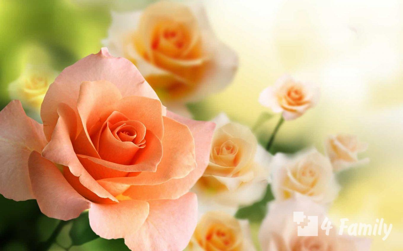 Цвета роз и их значение