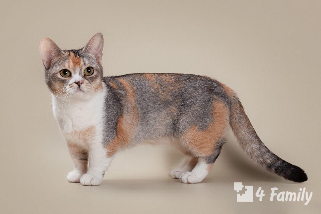 4Family Манчкин кошка