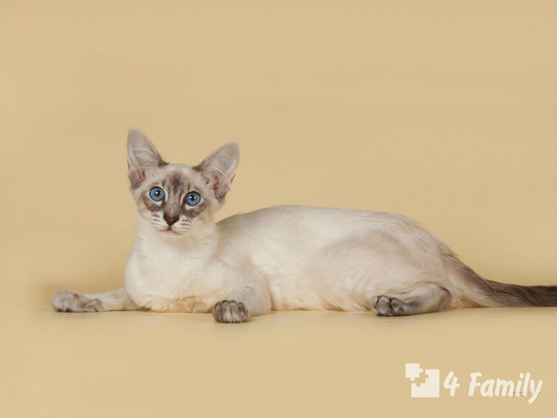 4Family кошка породы балинез