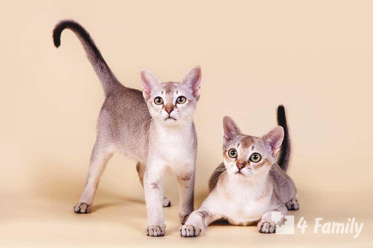 4Family Сингапура кошка