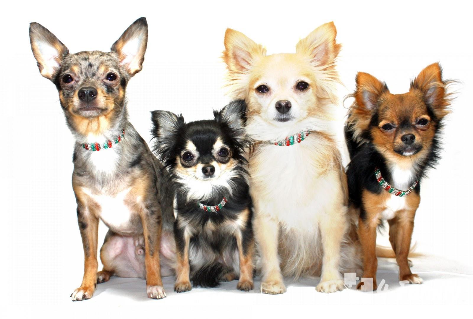 как выбрать маленькую собаку