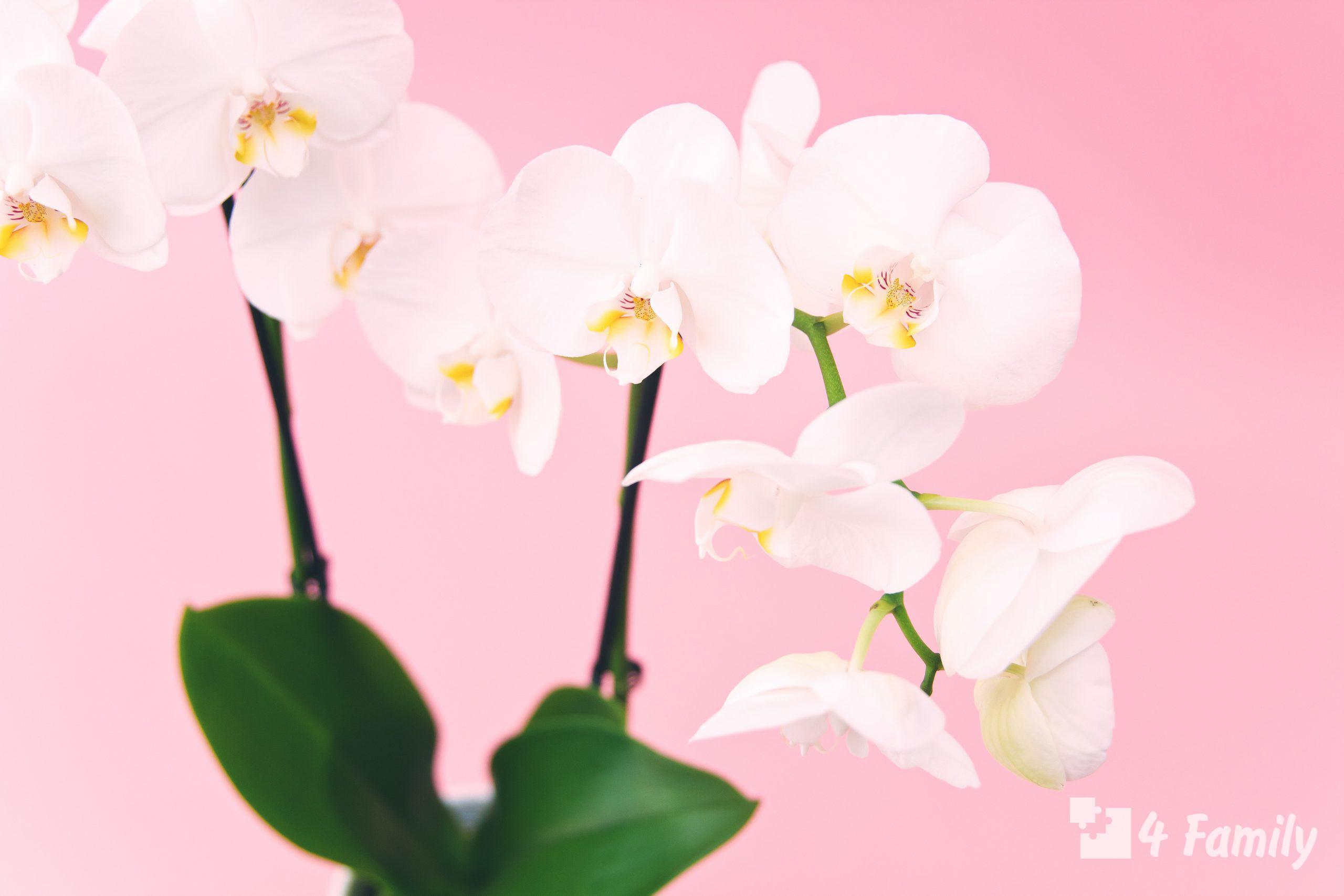 Как ухаживать за орхидеей, купленной в горшке