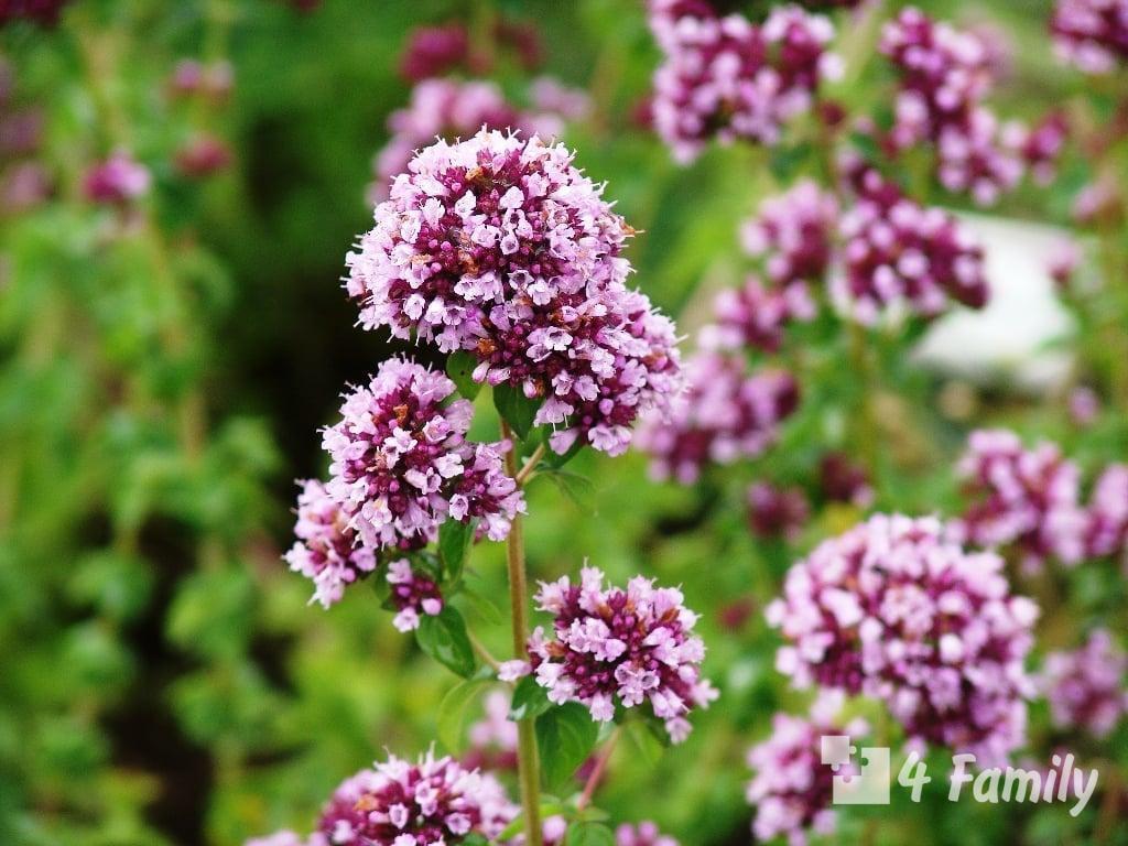 Растения, обладающие противовирусными свойствами
