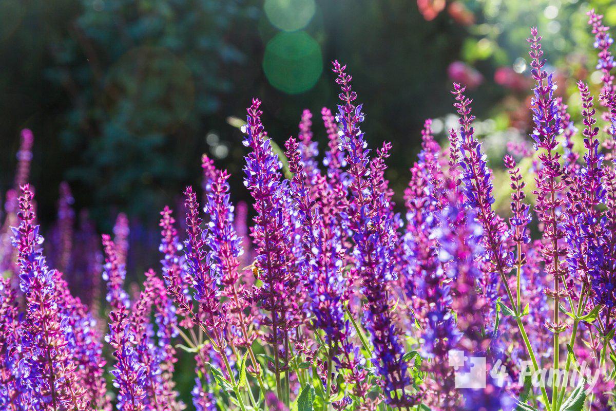 4family Растения, обладающие противовирусными свойствами